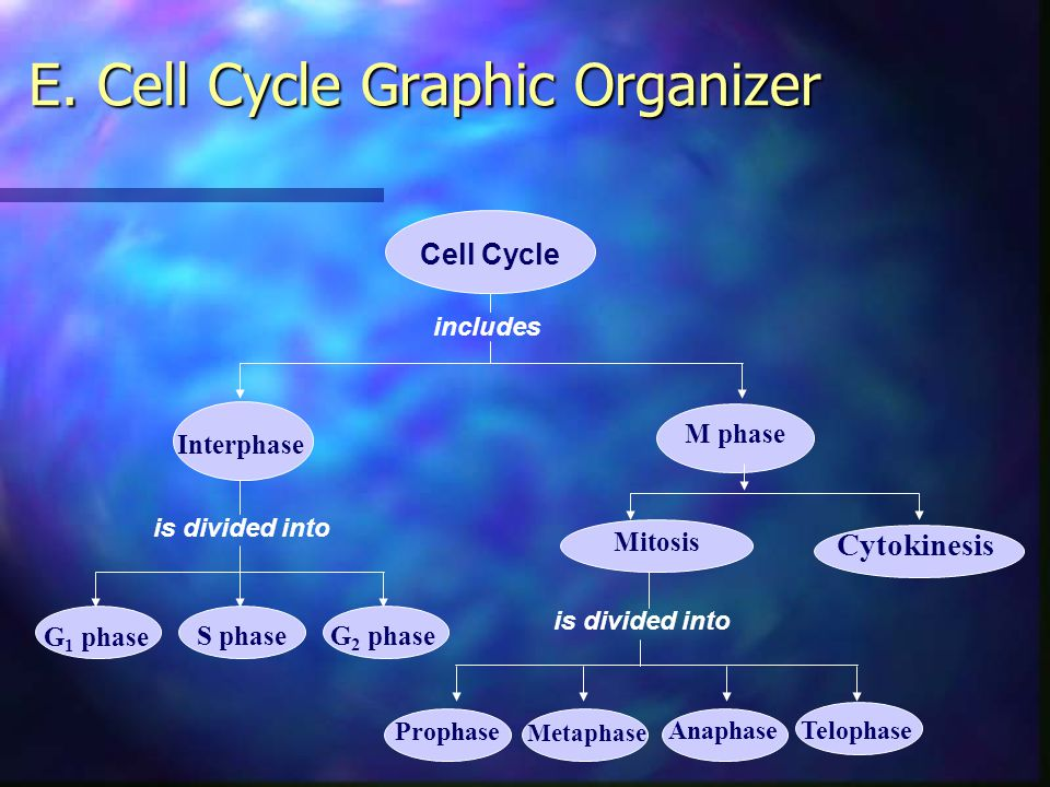 E. Cell Cycle Graphic Organizer
