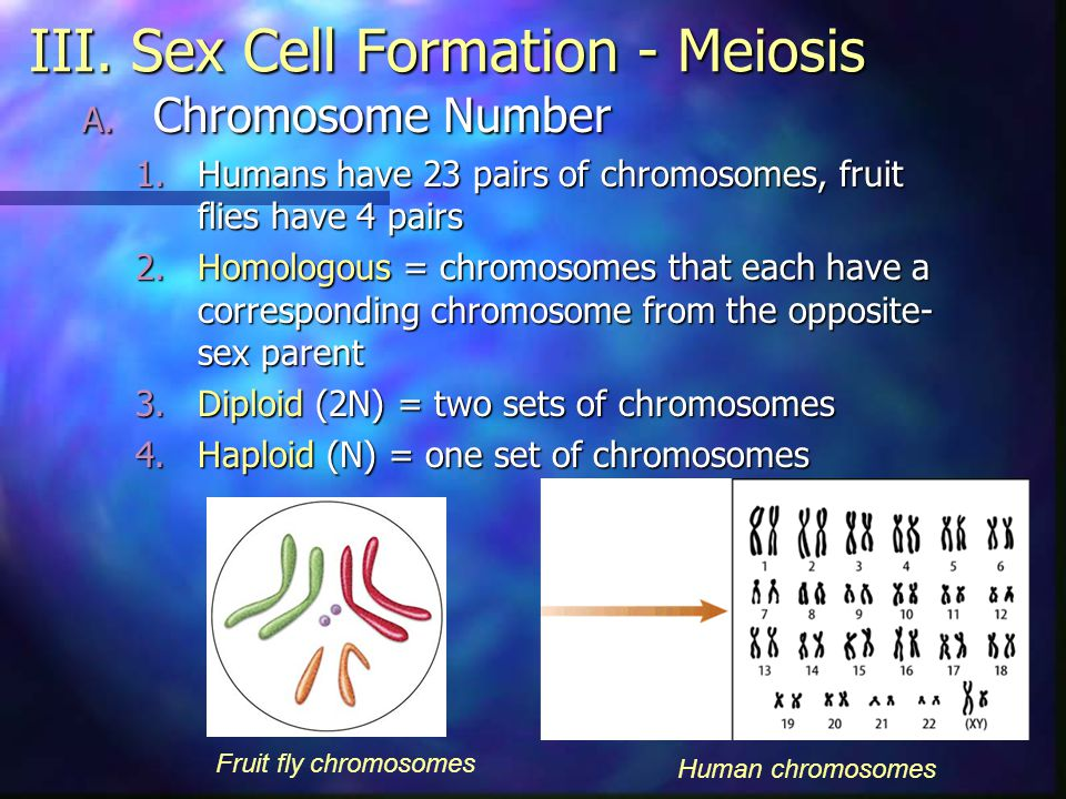 III. Sex Cell Formation - Meiosis