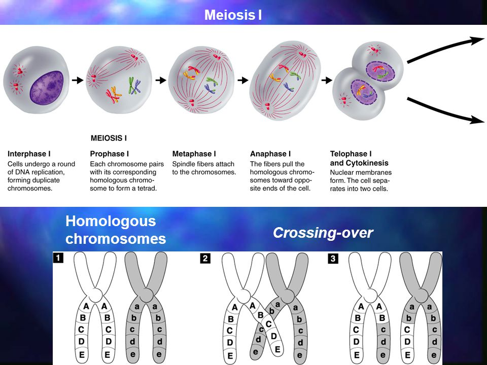 Meiosis I Homologous chromosomes Crossing-over