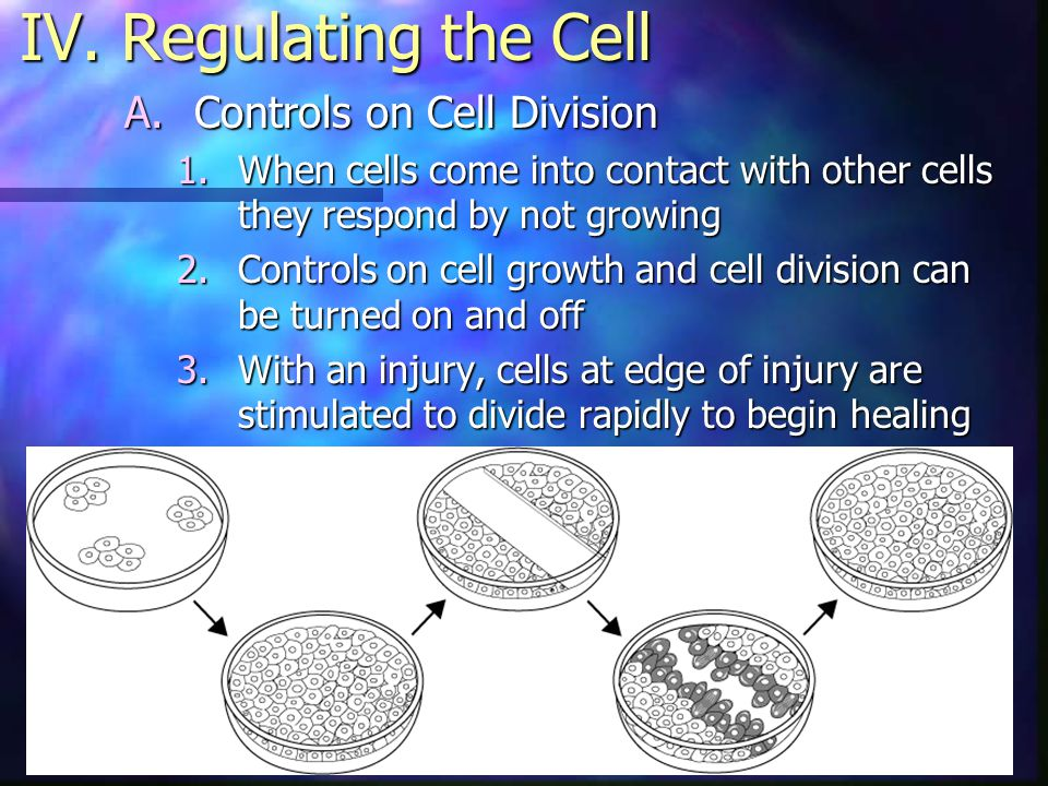 IV. Regulating the Cell Controls on Cell Division