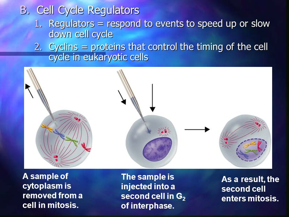 Cell Cycle Regulators Regulators = respond to events to speed up or slow down cell cycle.