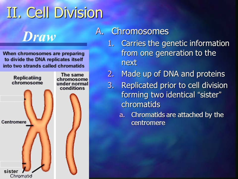 II. Cell Division Draw Chromosomes