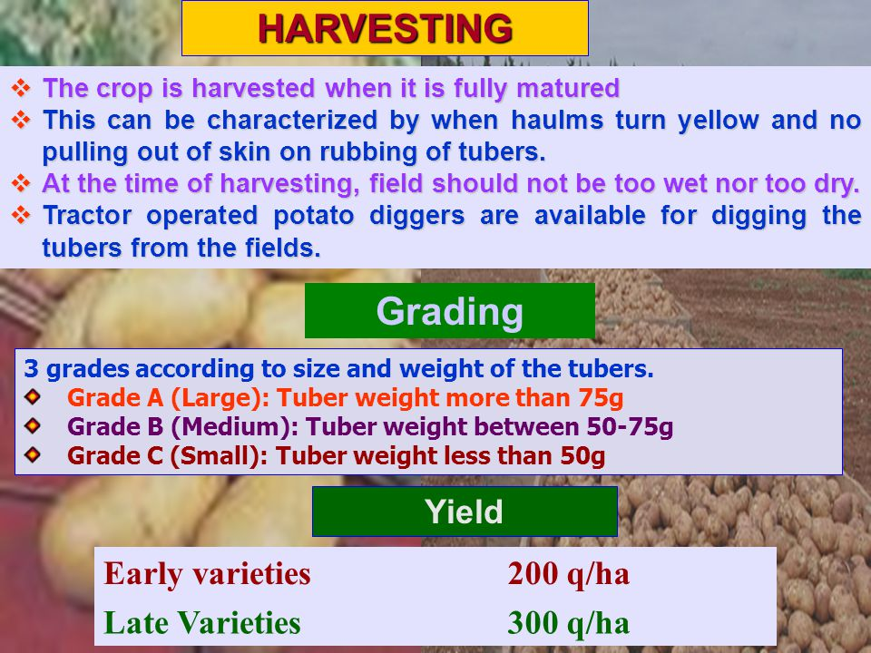HARVESTING Grading Yield Early varieties 200 q/ha Late Varieties