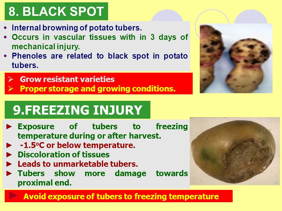 8. BLACK SPOT 9.FREEZING INJURY Internal browning of potato tubers.