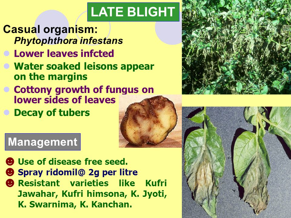 LATE BLIGHT Casual organism: Phytophthora infestans Management