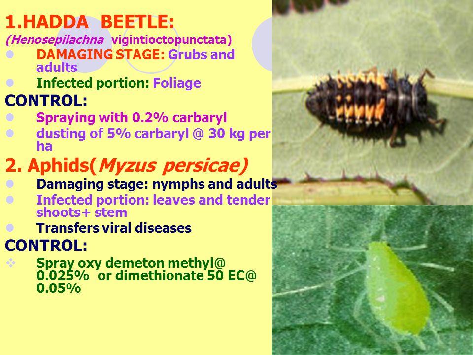 2. Aphids(Myzus persicae)