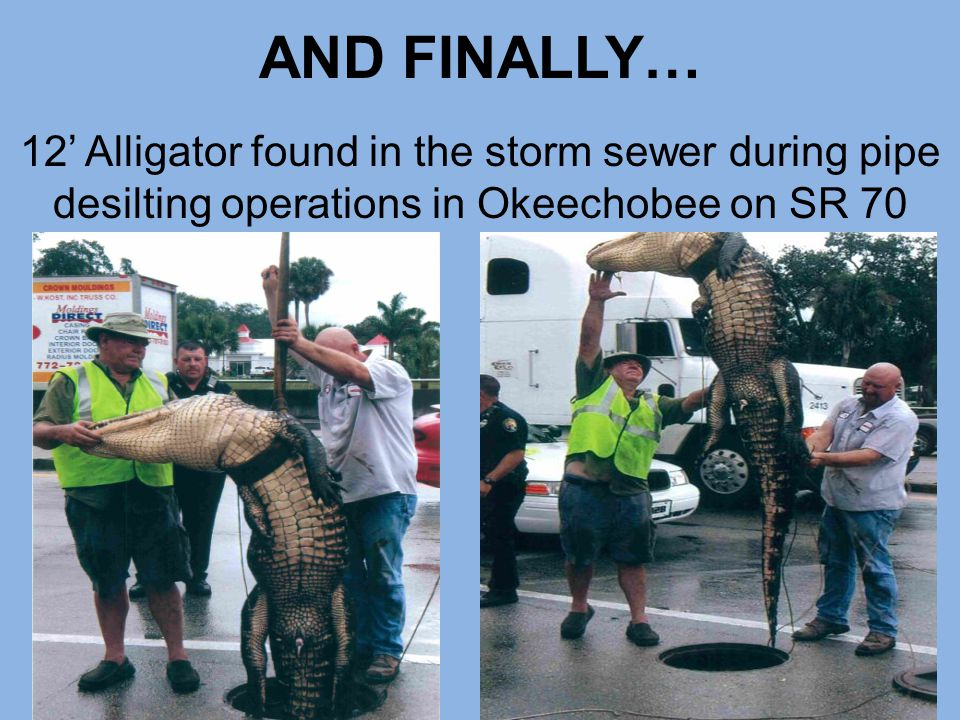 AND FINALLY… 12' Alligator found in the storm sewer during pipe desilting operations in Okeechobee on SR 70.