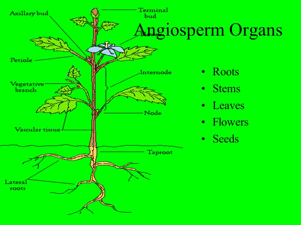 Angiosperm Organs Roots Stems Leaves Flowers Seeds