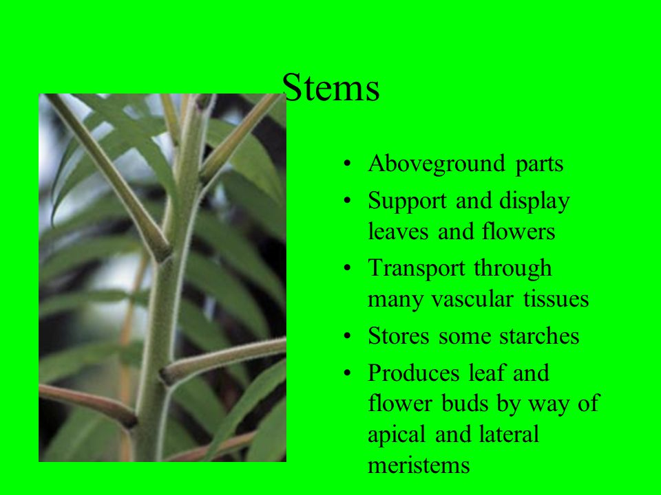 Stems Aboveground parts Support and display leaves and flowers