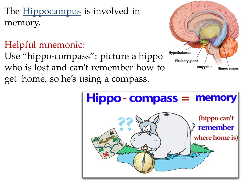 The Hippocampus is involved in memory.