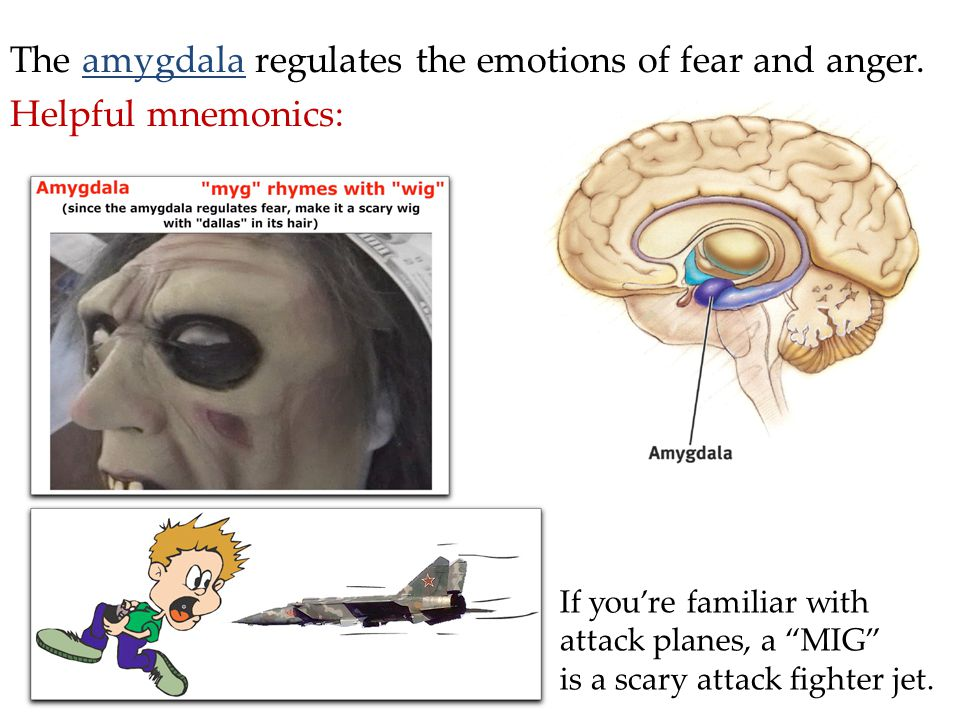 The amygdala regulates the emotions of fear and anger.