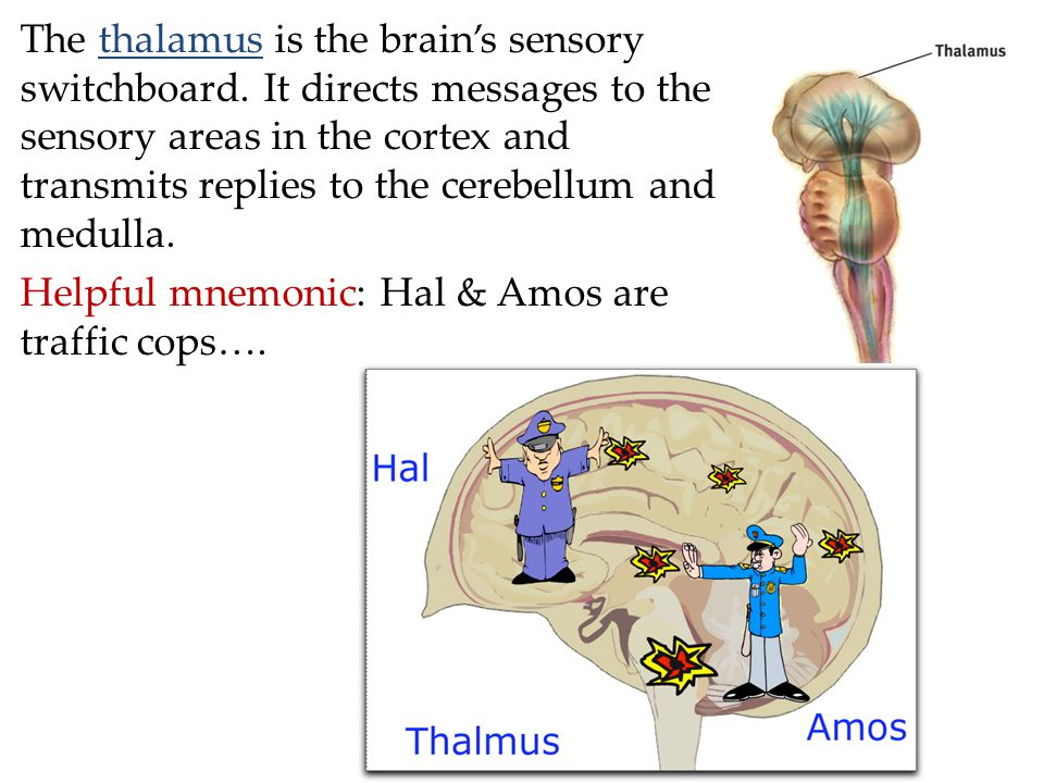 The thalamus is the brain's sensory switchboard