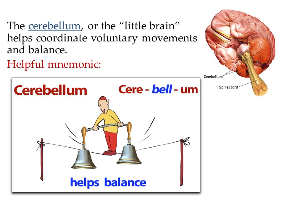 The cerebellum, or the little brain helps coordinate voluntary movements and balance.