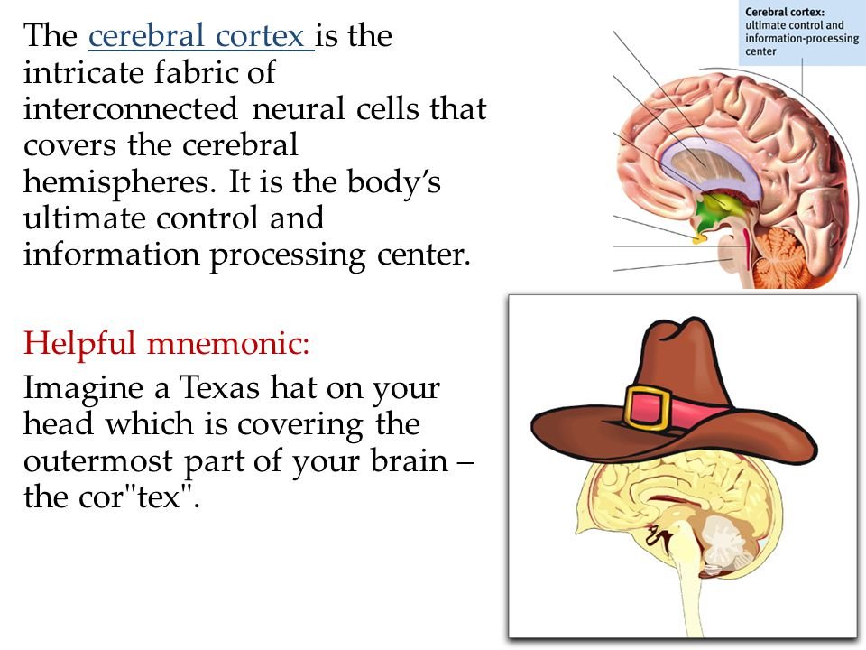 The cerebral cortex is the intricate fabric of interconnected neural cells that covers the cerebral hemispheres. It is the body's ultimate control and information processing center.