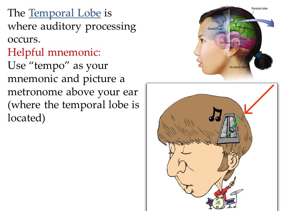 The Temporal Lobe is where auditory processing occurs.