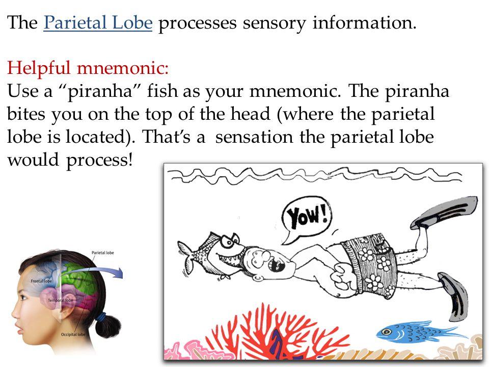 The Parietal Lobe processes sensory information.