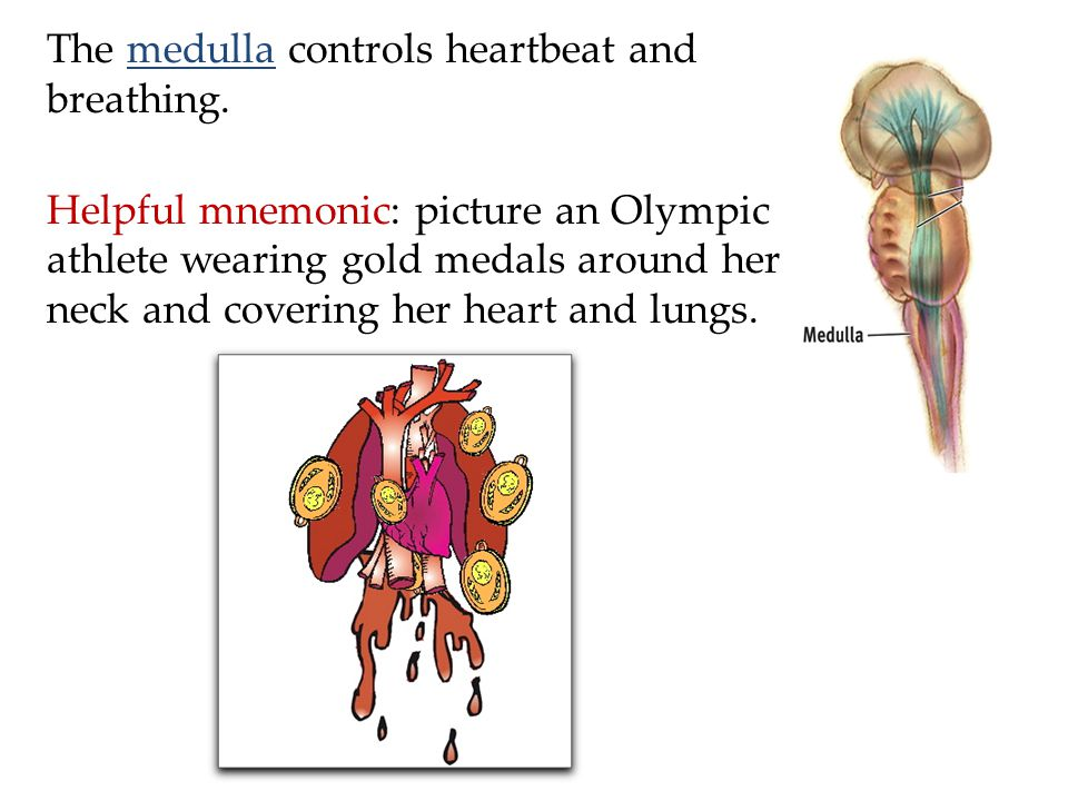 The medulla controls heartbeat and breathing.