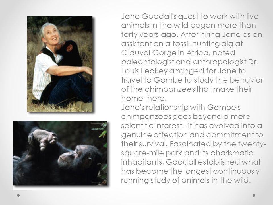 Jane Goodall s quest to work with live animals in the wild began more than forty years ago. After hiring Jane as an assistant on a fossil-hunting dig at Olduvai Gorge in Africa, noted paleontologist and anthropologist Dr. Louis Leakey arranged for Jane to travel to Gombe to study the behavior of the chimpanzees that make their home there.