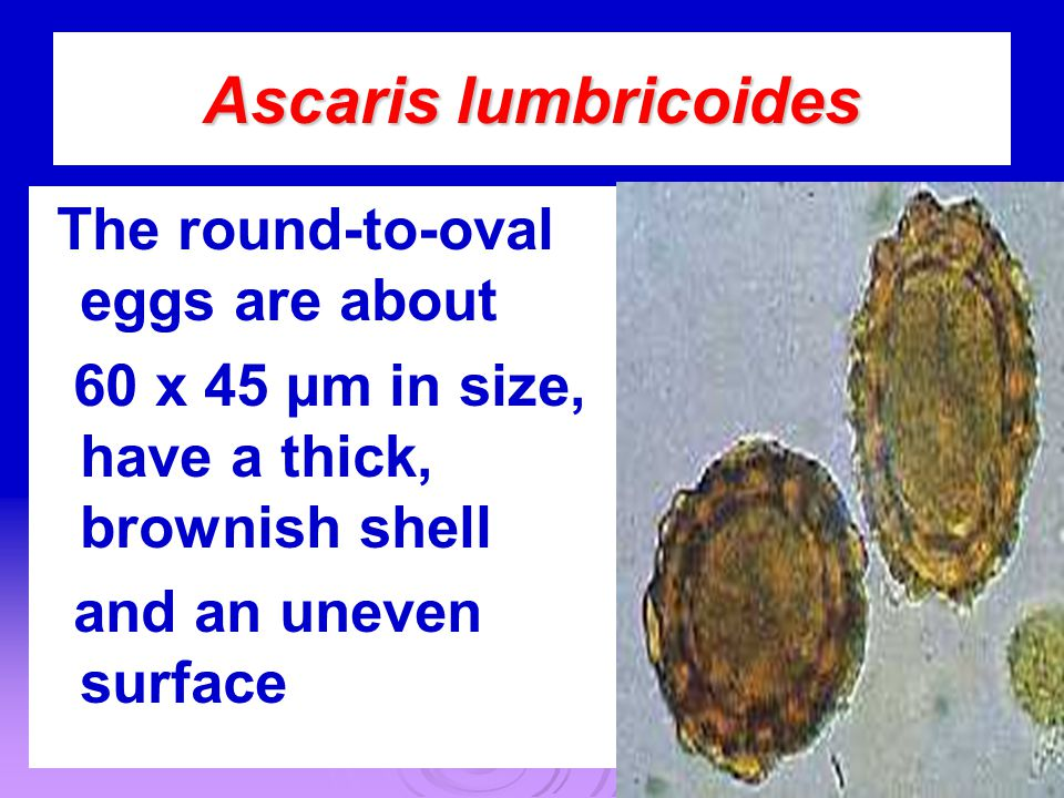 Ascaris lumbricoides The round-to-oval eggs are about