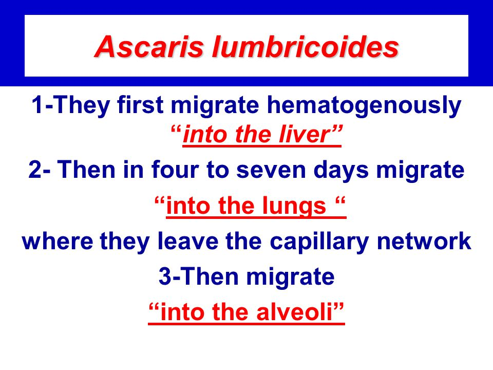 Ascaris lumbricoides 1-They first migrate hematogenously into the liver 2- Then in four to seven days migrate.