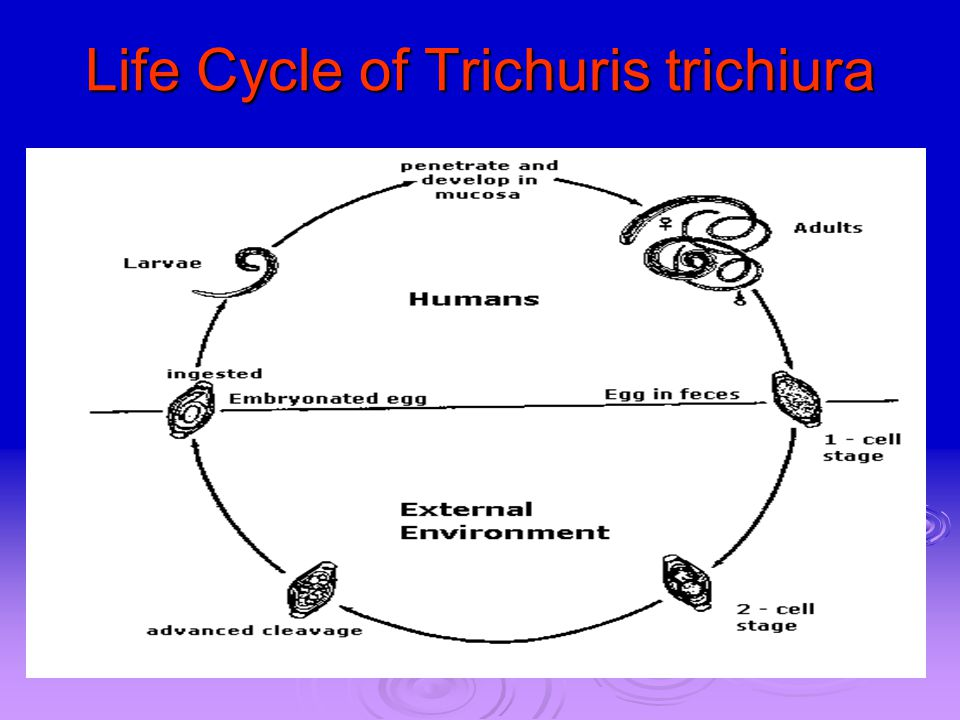 Life Cycle of Trichuris trichiura