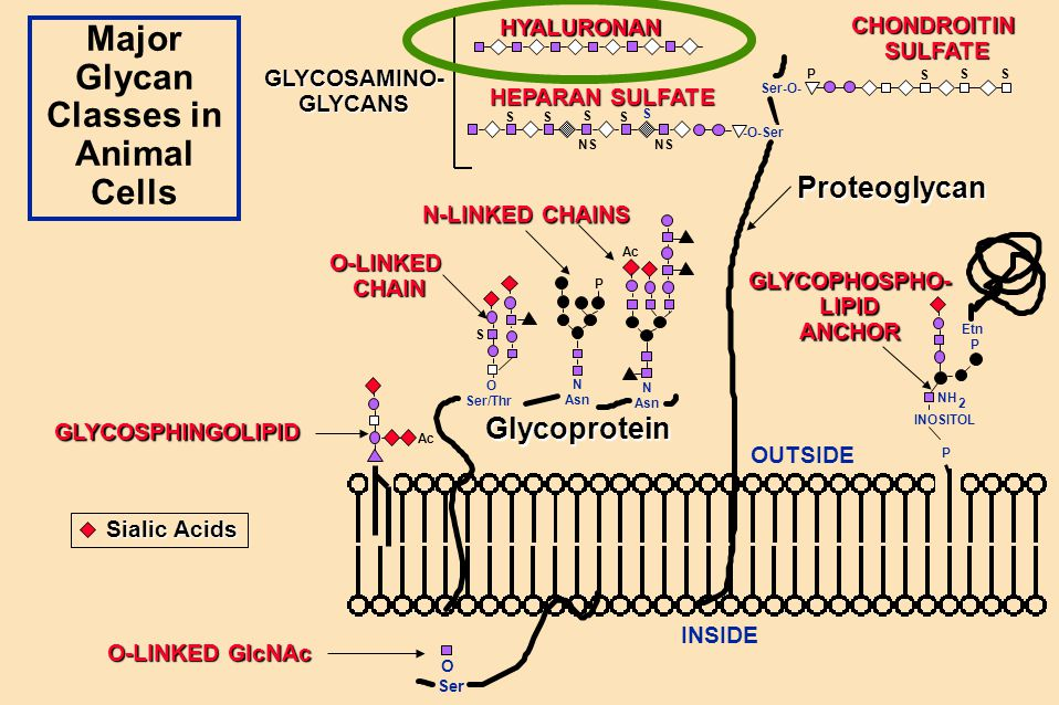 Major Glycan Classes in Animal Cells