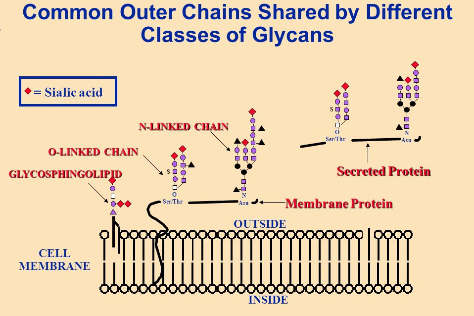Common Outer Chains Shared by Different Classes of Glycans