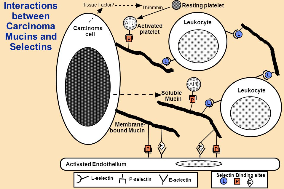 Interactions between Carcinoma Mucins and Selectins