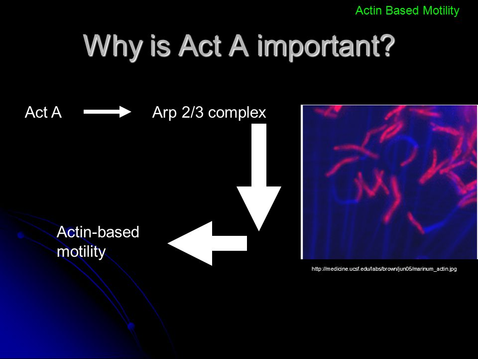Why is Act A important Act A Arp 2/3 complex Actin-based motility