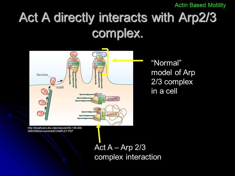 Act A directly interacts with Arp2/3 complex.