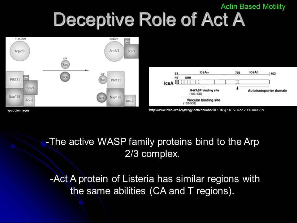 -The active WASP family proteins bind to the Arp 2/3 complex.