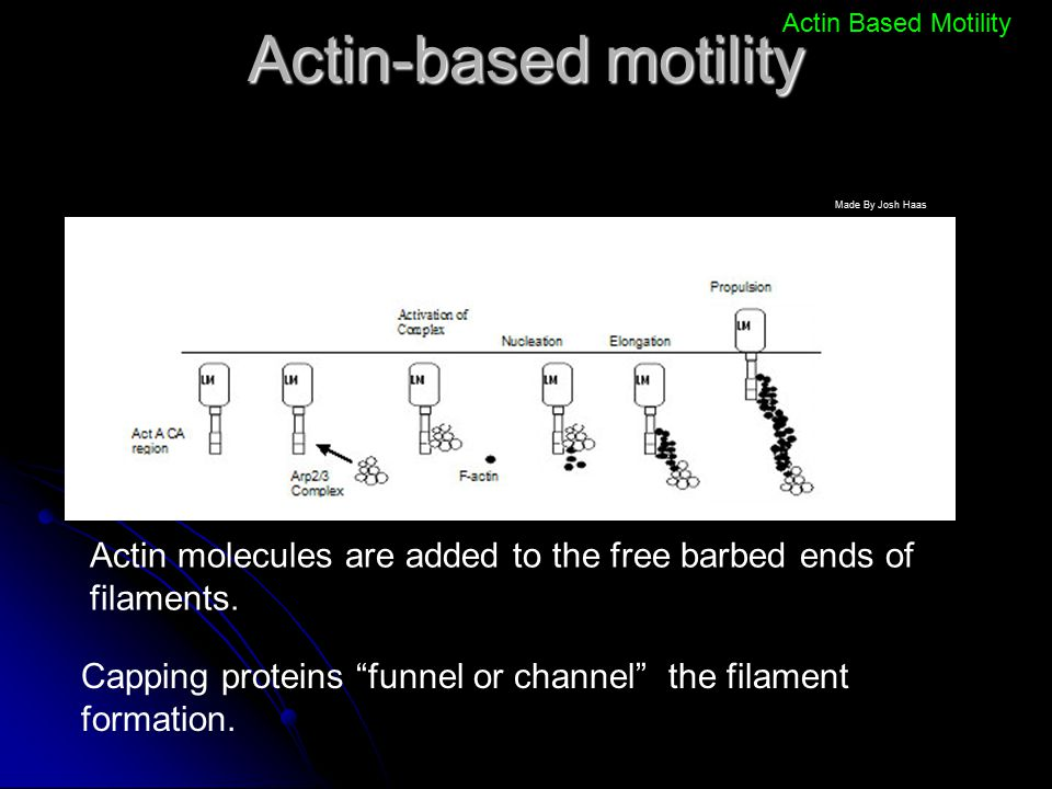 Actin-based motility Actin Based Motility. Made By Josh Haas. Actin molecules are added to the free barbed ends of filaments.