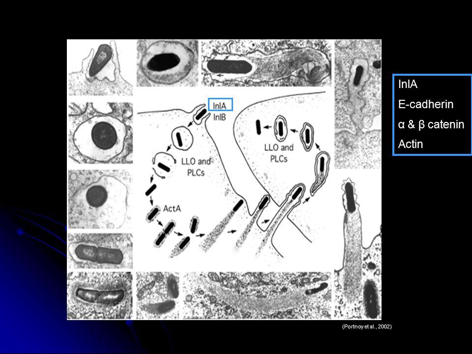 (Portnoy et al., 2002) InlA E-cadherin α & β catenin Actin