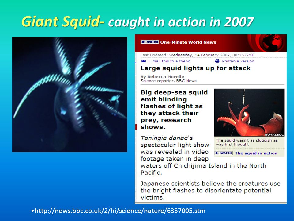 Giant Squid- caught in action in 2007