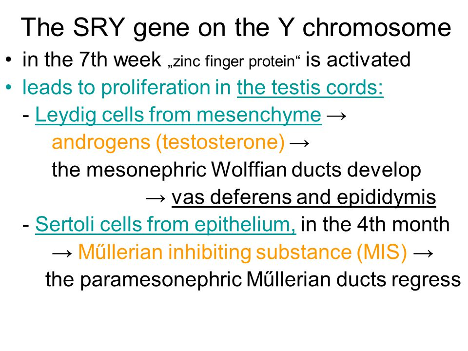 The SRY gene on the Y chromosome