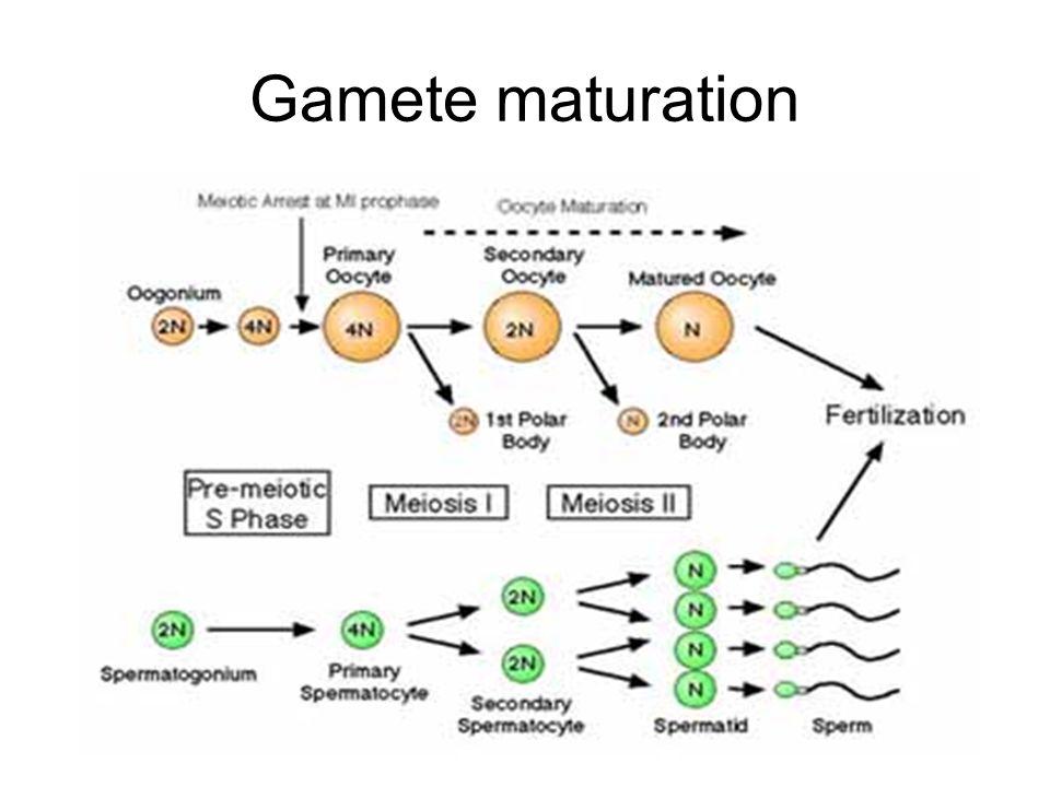 Gamete maturation