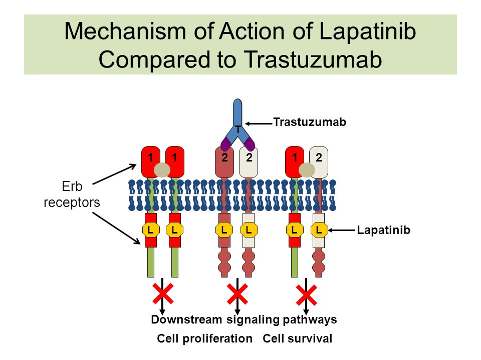 Mechanism of Action of Lapatinib Compared to Trastuzumab