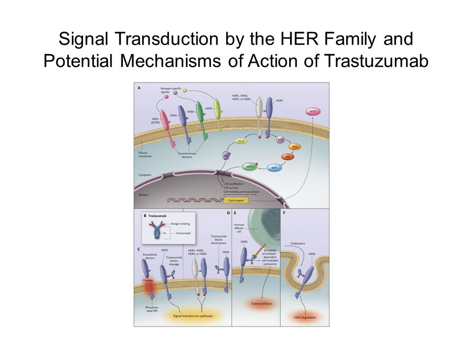 Signal Transduction by the HER Family and Potential Mechanisms of Action of Trastuzumab