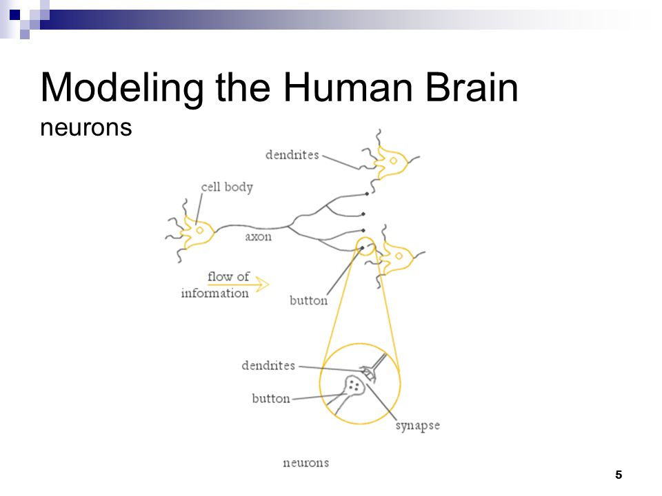 Modeling the Human Brain neurons