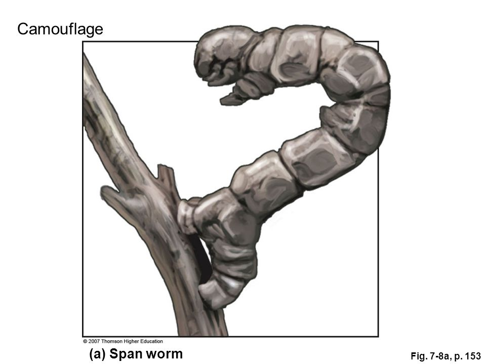 Camouflage (a) Span worm Fig. 7-8a, p. 153 Figure 7.8