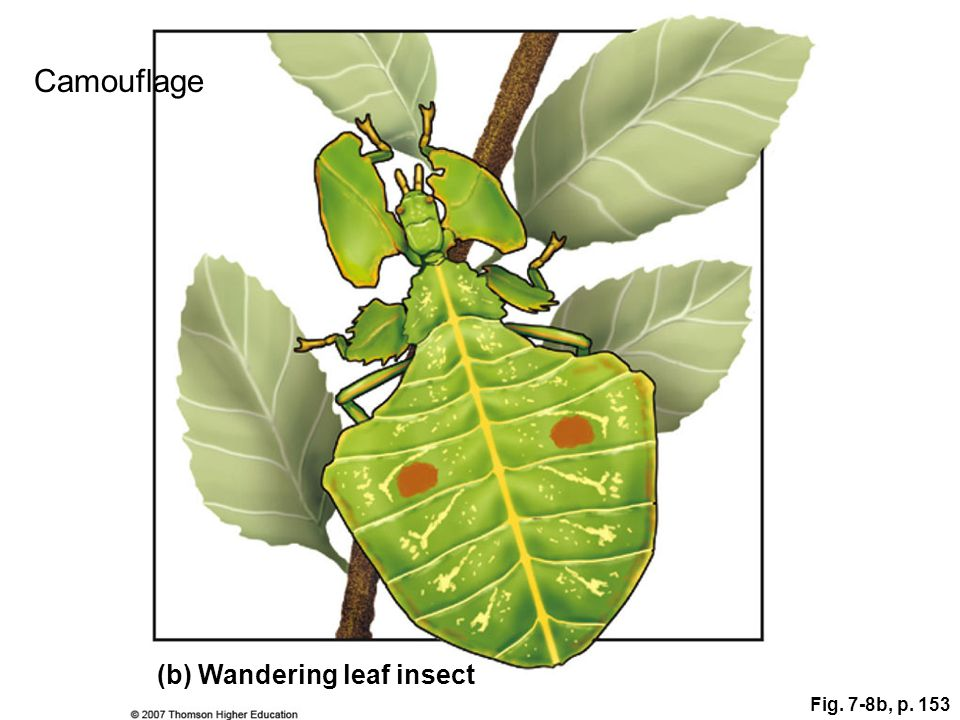 Camouflage (b) Wandering leaf insect Fig. 7-8b, p. 153 Figure 7.8