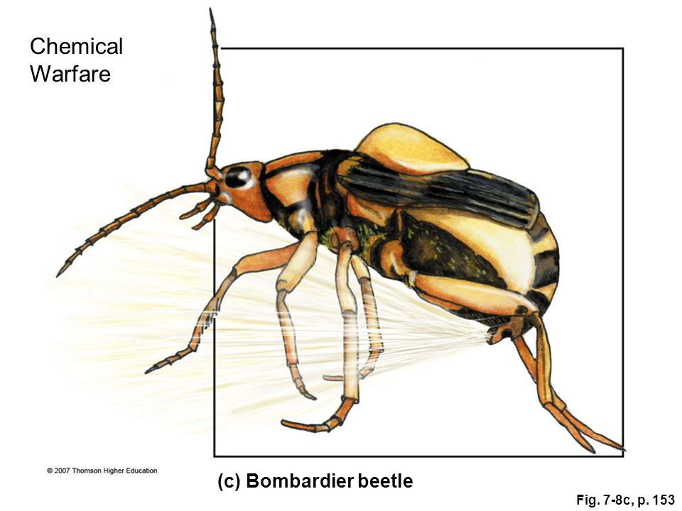 Chemical Warfare (c) Bombardier beetle Fig. 7-8c, p. 153 Figure 7.8