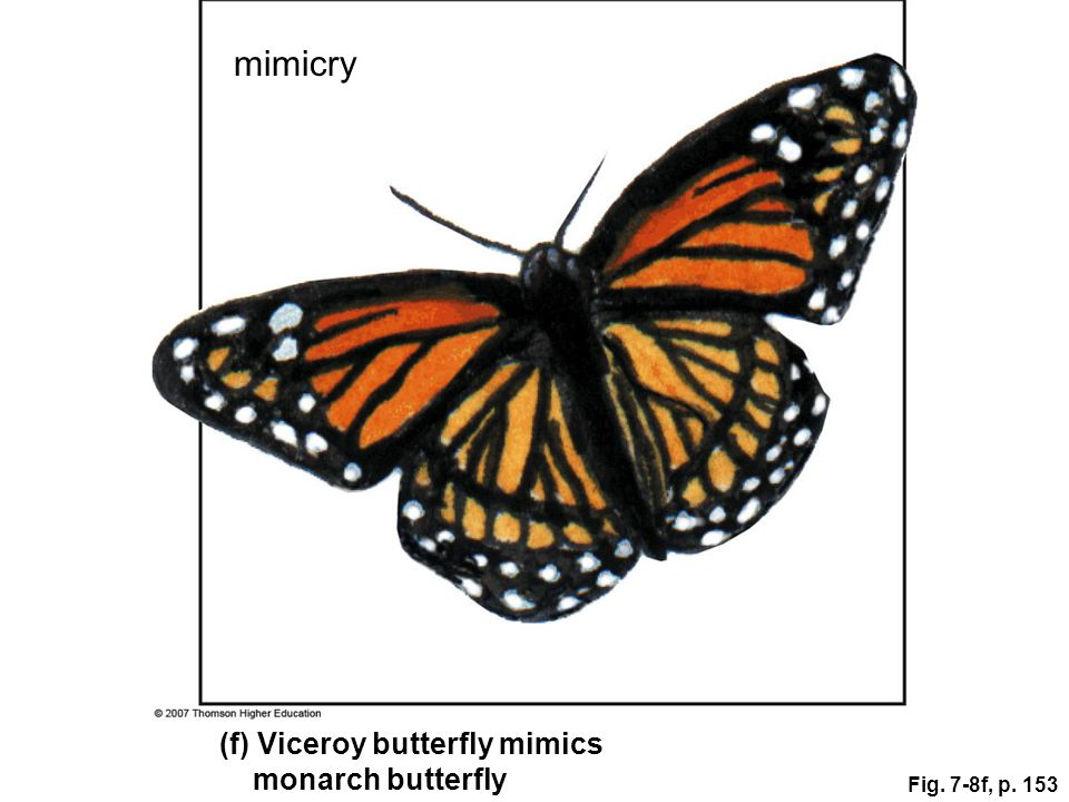 mimicry (f) Viceroy butterfly mimics monarch butterfly