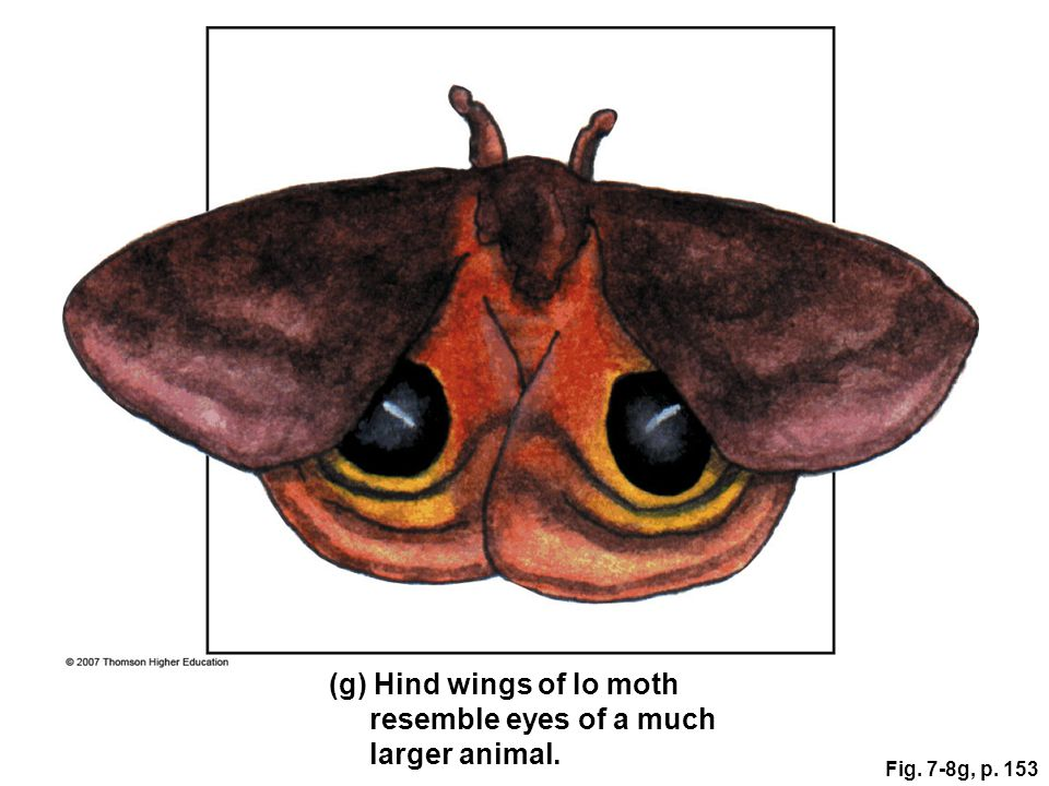 (g) Hind wings of Io moth resemble eyes of a much larger animal.