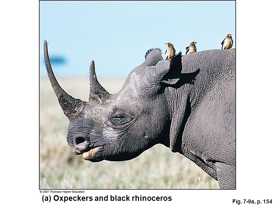 (a) Oxpeckers and black rhinoceros