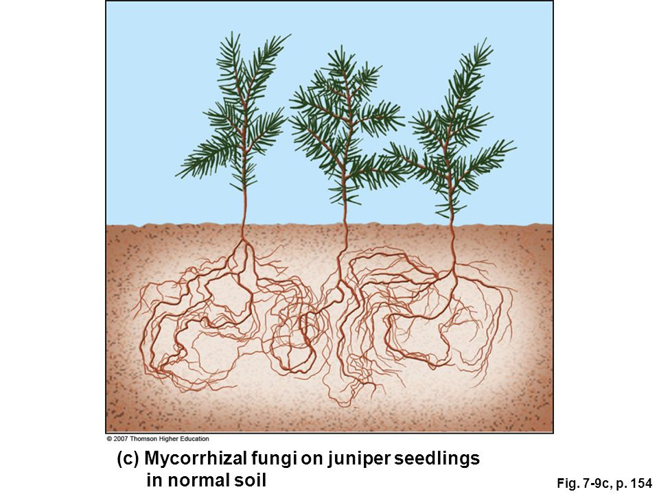 (c) Mycorrhizal fungi on juniper seedlings in normal soil