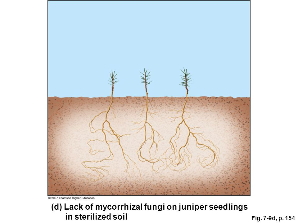 (d) Lack of mycorrhizal fungi on juniper seedlings in sterilized soil