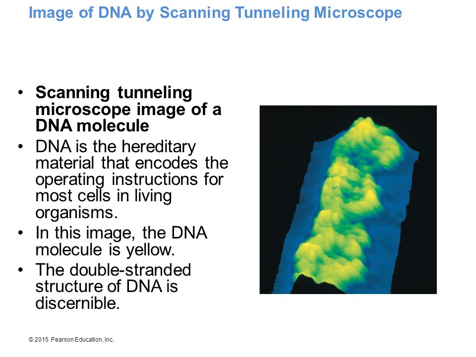 Scanning tunneling microscope image of a DNA molecule