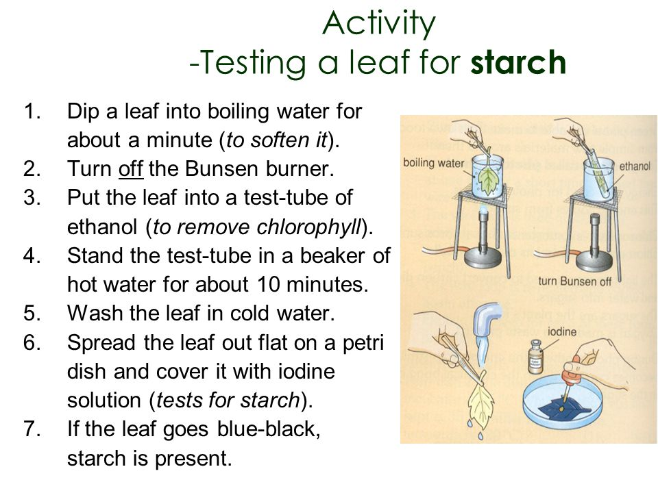 Activity -Testing a leaf for starch