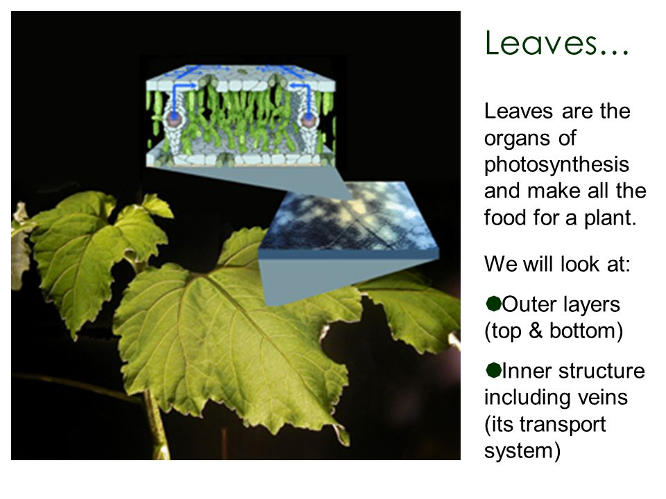 Leaves… Leaves are the organs of photosynthesis and make all the food for a plant. We will look at: